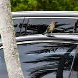 Härmfågel i parkeringsplatsen arkivbild
