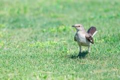 Härmfågel på gräs royaltyfri fotografi