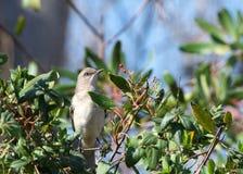 Härmfågel som sätta sig i en buske arkivfoto