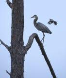 Härmfågeln retar hägret för stora blått Arkivbild