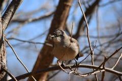 Härmfågeln sitter i träd Royaltyfria Foton