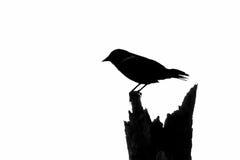 Härmfågeln som sätta sig på döda, sörjer trädet Arkivfoto