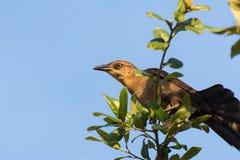 Härmfågelsammanträde i ett träd royaltyfri bild