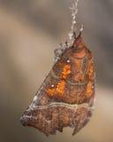 Härolden (Scoliopteryx libatrix) som hänger från siden- spindlar Royaltyfria Bilder