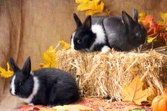 Häschen über Strohblock Zwergartiges niederländisches Kaninchen, ein Monat lizenzfreie stockfotografie