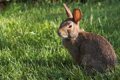 Häschen-Kaninchen Stockfoto