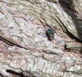 Hässliche grüne Fliege auf Holzabschluß oben lizenzfreie stockbilder