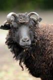 Hässliche Schafe. lizenzfreie stockfotos