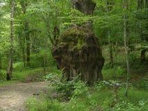 Hässlicher Baum stockfoto