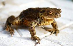 Hässlicher brauner Frosch Stockbild