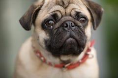 Hässlicher Hund Lizenzfreie Stockfotos