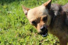 Hässlicher kleiner Hund - Zeigen seiner Zähne Stockbilder