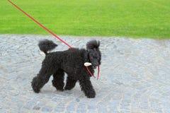 Hässlicher schwarzer Hund Lizenzfreie Stockfotos
