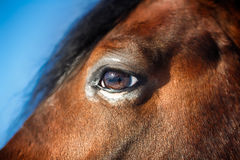 Hästögondetalj Arkivbild