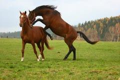 häst 13 Royaltyfria Foton