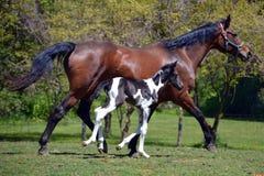 Häst 133 Arkivbild