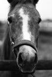 Häst 3 Fotografering för Bildbyråer