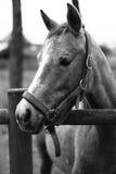 Häst 4 Royaltyfri Fotografi