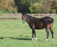 häst Royaltyfri Foto
