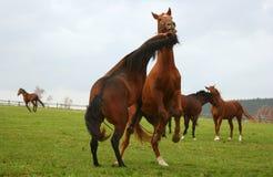 häst 5 Fotografering för Bildbyråer