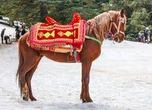 Häst av berbers i skogen arkivbilder