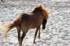 Häst av den Assateague ön Fotografering för Bildbyråer