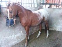 Häst caballo Arkivfoto