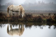 Häst Camargue arkivfoto