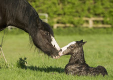 Häst (Equusferuscaballus) royaltyfri foto