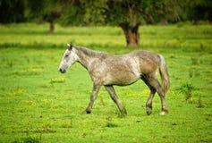 Häst ett fält Fotografering för Bildbyråer