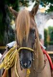 häst för close 6 upp Arkivbild
