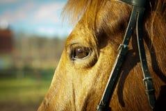 häst för designelementöga Arkivbild