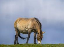 Häst för Przewalski ` s - sällsynt mongoliskt beta för häst Royaltyfri Foto