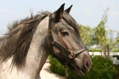 häst för utkasthuvud Arkivbilder