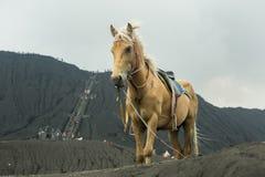 Häst framme av berg nära Volcano Bromo Arkivbild