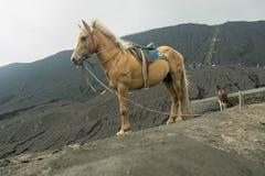Häst framme av berg nära Volcano Bromo Royaltyfria Bilder