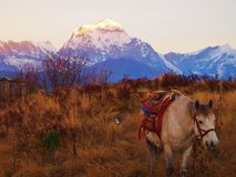 Häst framme av Himalayan berg på soluppgång Fotografering för Bildbyråer