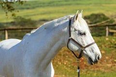 Häst Gray Animal Portrait Arkivbilder