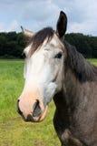Häst huvud Fotografering för Bildbyråer