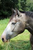 Häst huvud Arkivfoton