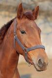 Häst huvud Royaltyfria Bilder