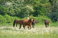 Häst i äng Arkivfoto