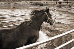 Häst i aquafotgängare Royaltyfri Fotografi
