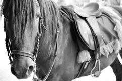 Häst i baksida och vit Arkivfoto