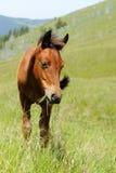 Häst i berg Royaltyfria Foton