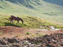Häst i berg Arkivfoto