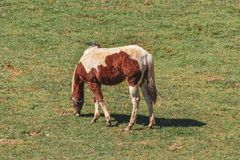 Häst i beta för fält arkivbild