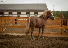 Häst i deras stall Arkivfoto