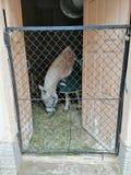 Häst i en filt som äter hö royaltyfri foto