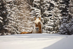 Häst i en vinterliggande Royaltyfria Bilder